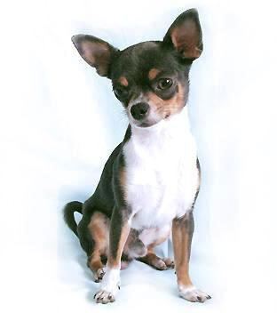 Карликовые собачки давно уже стали визитной карточкой гламурных модниц.