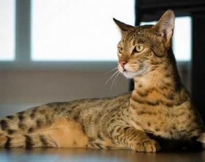 Кошки породы «ашера» - новая разработка американских генетиков.