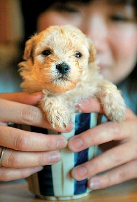 Японский миниатюрный пудель — это самая мелкая порода собак на Земле.