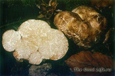 Белые трюфели - самый дорогой деликатес в мире