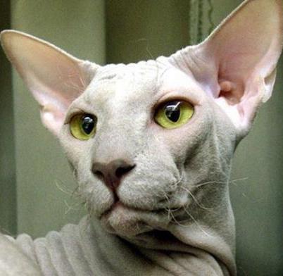 Топ-5: самые дорогие домашние кошки мира