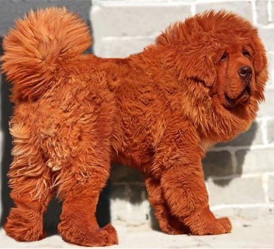 Самую дорогую собаку мира продали за $1.900.000