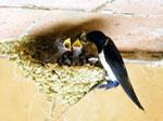 Суп из ласточкиного гнезда - пища императоров