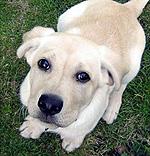 $150.000 за клонированного щенка