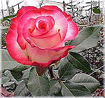 Съедобные розы из Эквадора