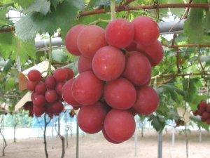 Гроздь самого дорогого винограда стоит $8.200