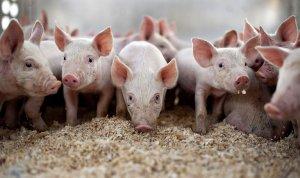 Испанская пятизвездочная ферма для свиней: $70 с «рыла» за одно место