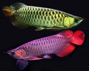 Самые дорогие обитатели аквариумов стоят $400.000