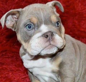 В Тадворте из дома заводчика бульдогов похищен щенок стоимостью £16.000