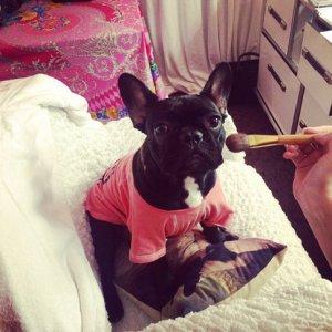 Бульдог Леди Гага разгуливает с модным макияжем