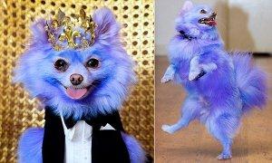 Стильная собака с фиолетовой шерстью за свой имидж заработала £6 тысяч и ошейник с кристаллами Swarovski
