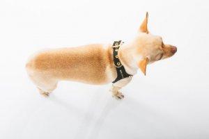Состоятельным хозяевам домашних питомцев предложили роскошную собачью шлейку за $10.000